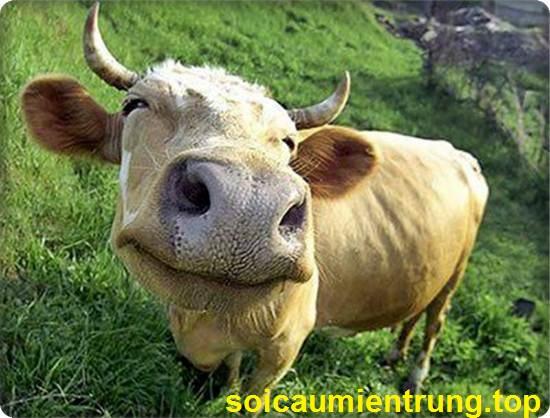 Nằm mơ thấy con bò đánh lô đề số mấy
